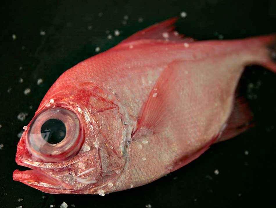 Palometa roja gallega salvaje